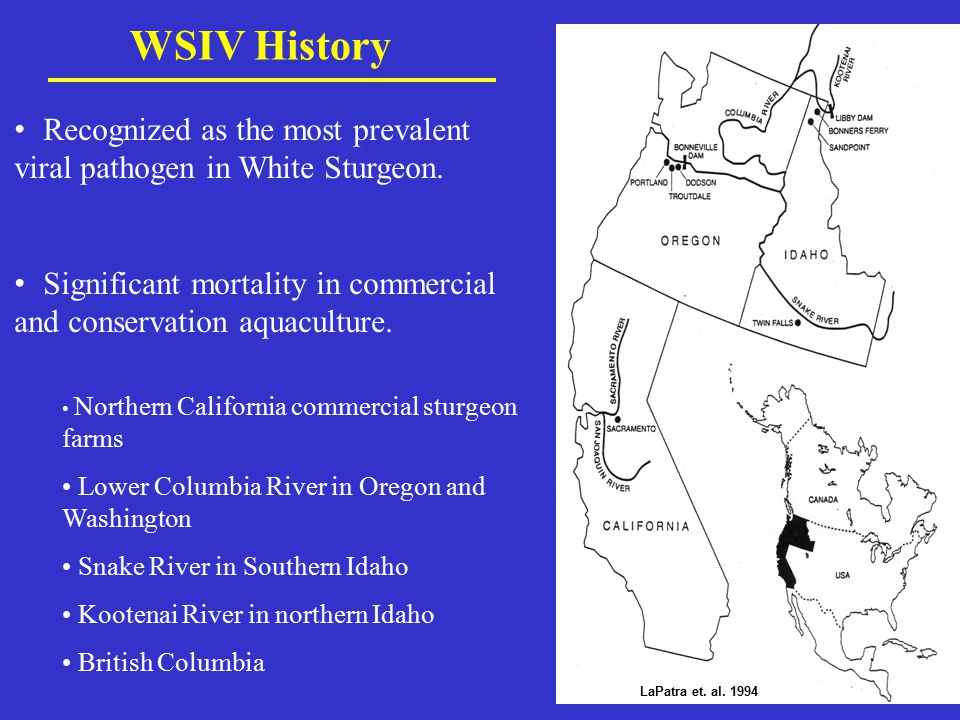 WSIV History Recognized as the most prevalent viral pathogen in White Sturgeon. Significant mortality in commercial and conservation aquaculture.