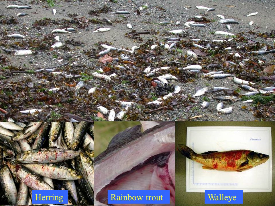 Herring Rainbow trout Walleye