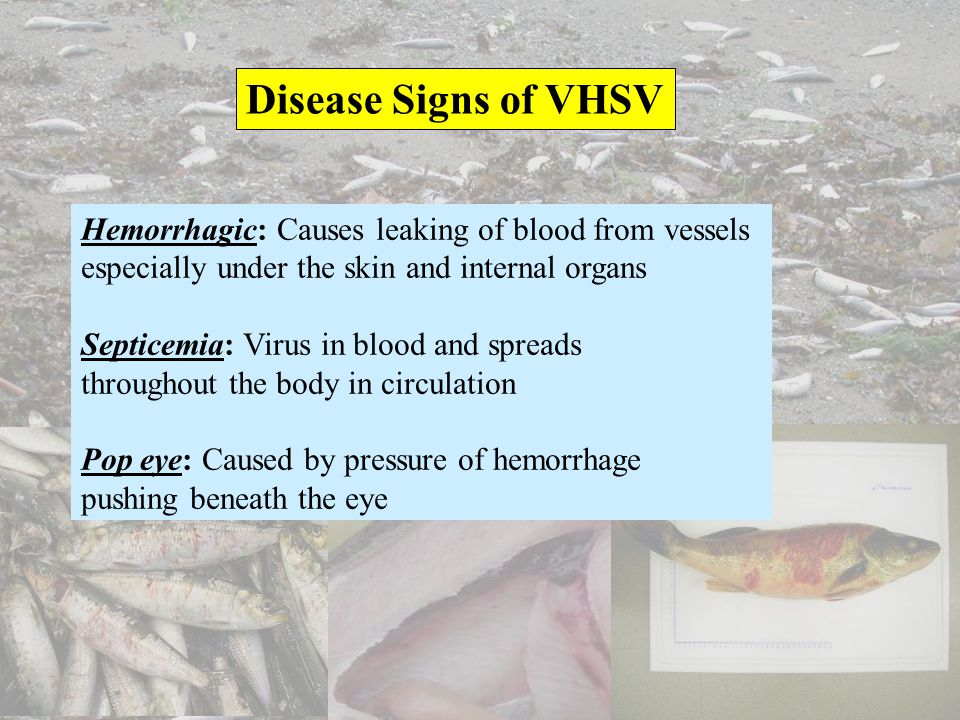Disease Signs of VHSV Hemorrhagic: Causes leaking of blood from vessels. especially under the skin and internal organs.