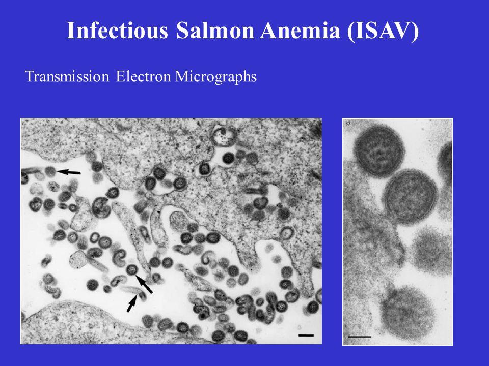 Infectious Salmon Anemia (ISAV)