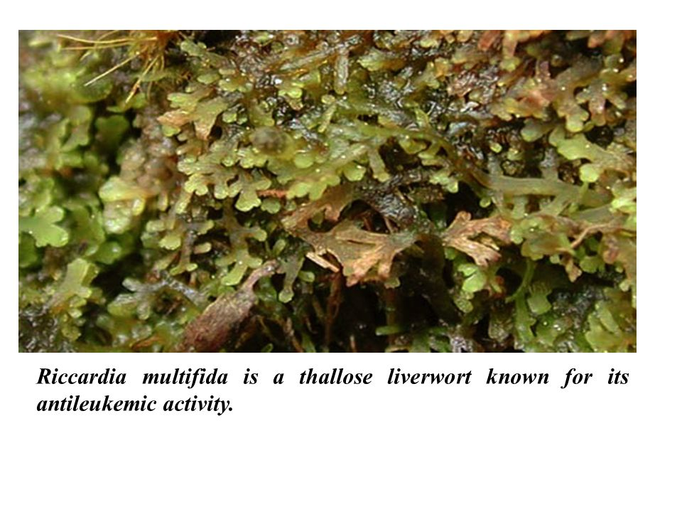 Riccardia multifida is a thallose liverwort known for its antileukemic activity.