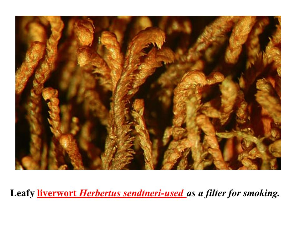 Leafy liverwort Herbertus sendtneri-used as a filter for smoking.