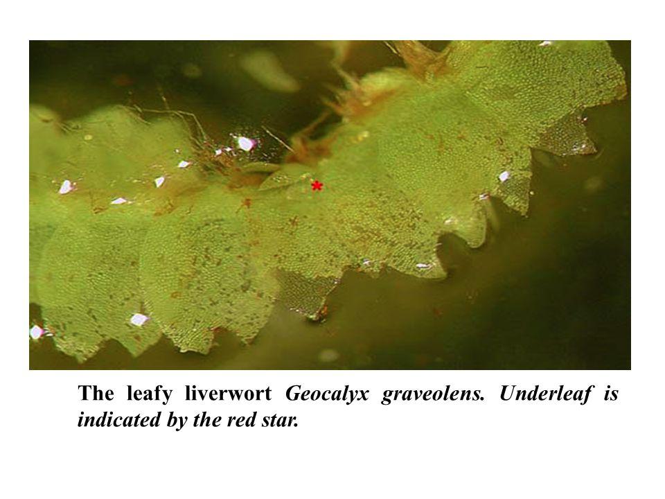 The leafy liverwort Geocalyx graveolens