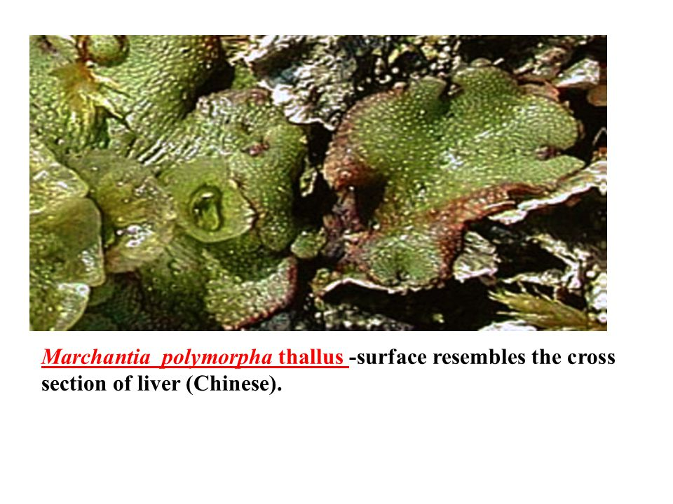 Marchantia polymorpha thallus -surface resembles the cross section of liver (Chinese).