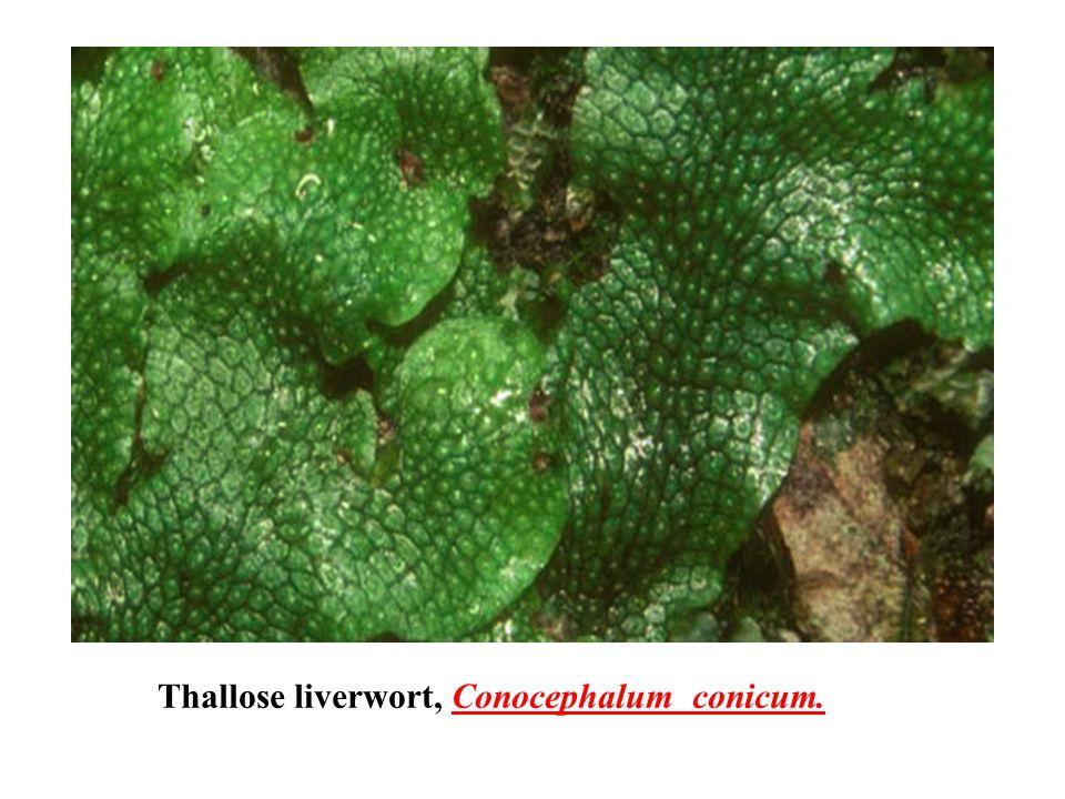 Thallose liverwort, Conocephalum conicum.