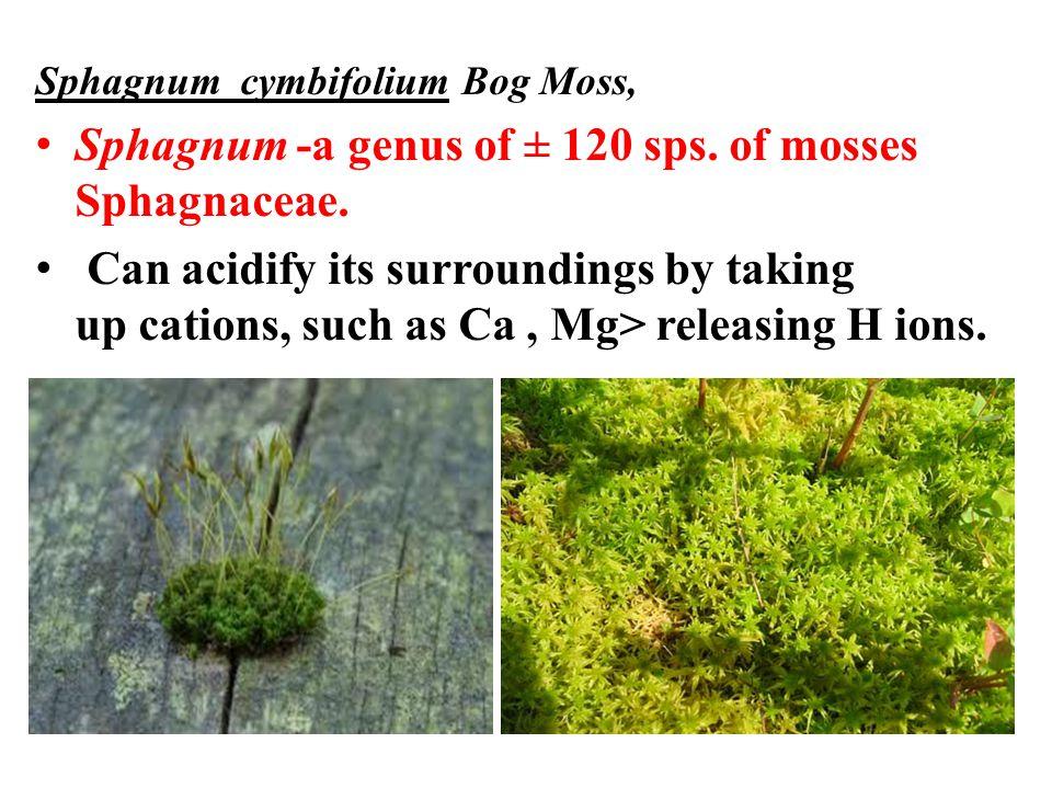 Sphagnum -a genus of ± 120 sps. of mosses Sphagnaceae.