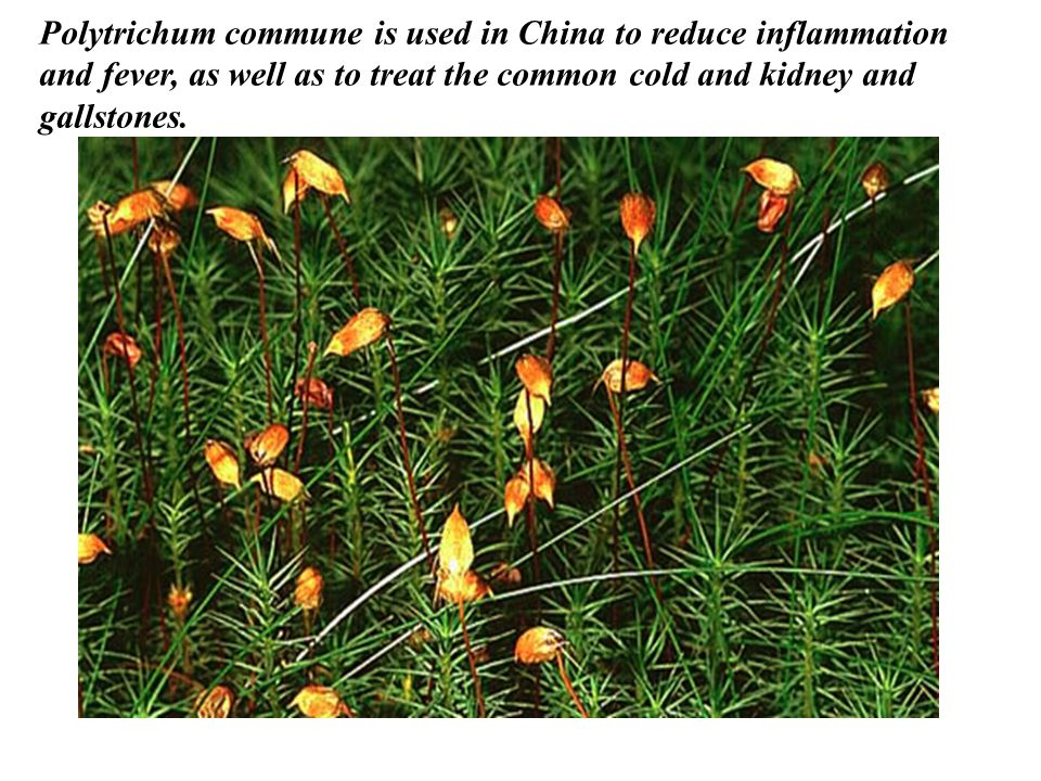 Polytrichum commune is used in China to reduce inflammation and fever, as well as to treat the common cold and kidney and gallstones.