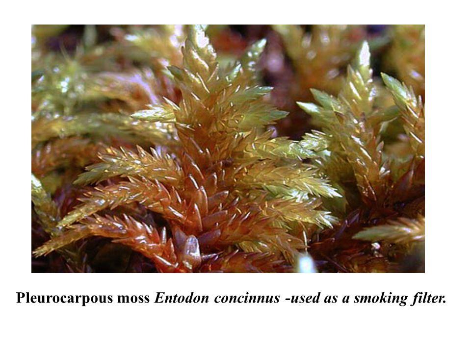 Pleurocarpous moss Entodon concinnus -used as a smoking filter.