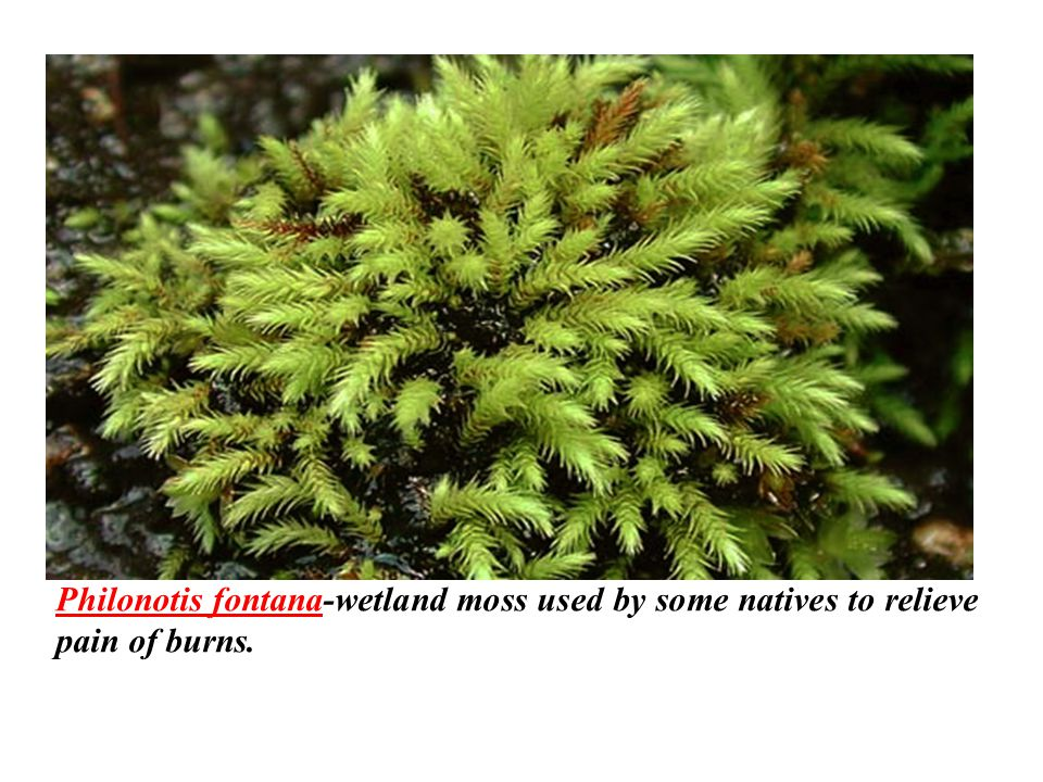 Philonotis fontana-wetland moss used by some natives to relieve pain of burns.