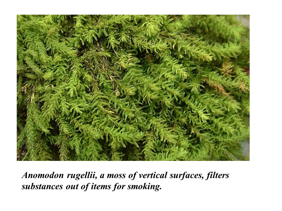 Anomodon rugellii, a moss of vertical surfaces, filters