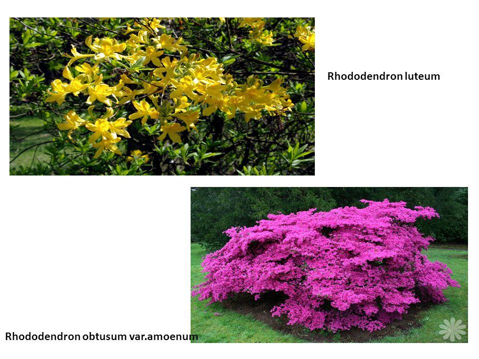 Rhododendron luteum Rhododendron obtusum var.amoenum