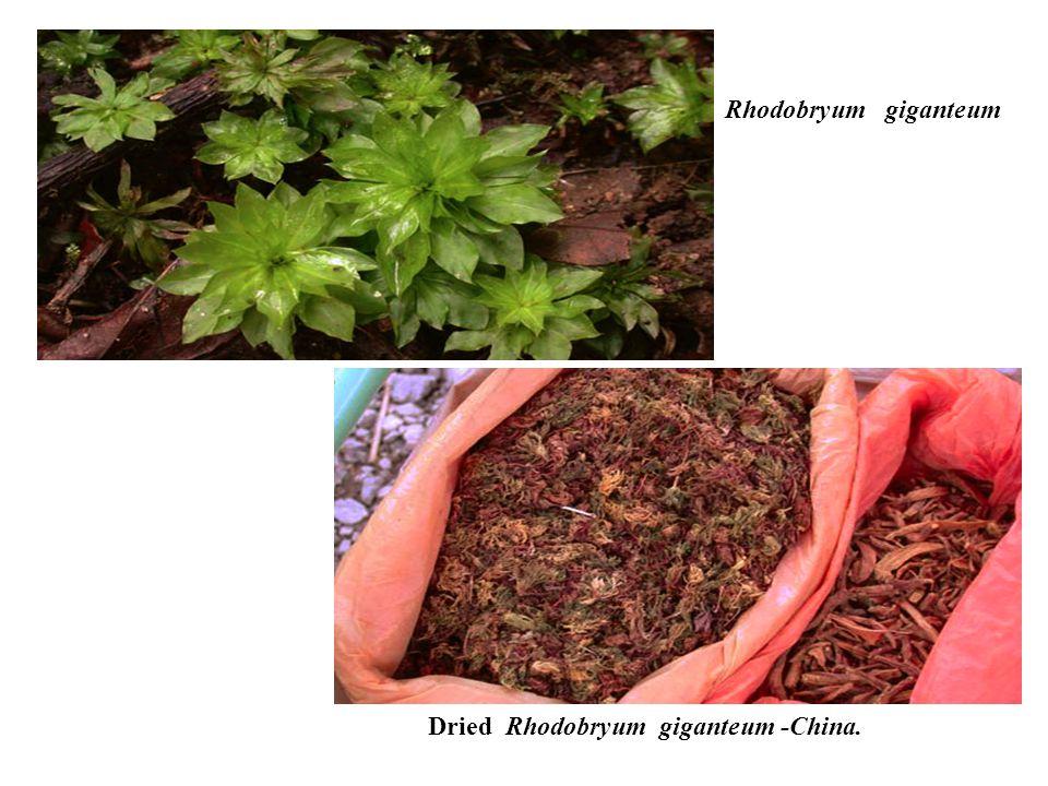 Rhodobryum giganteum Dried Rhodobryum giganteum -China.