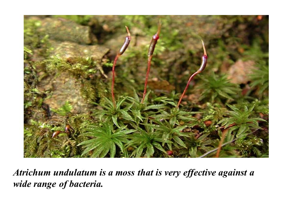 Atrichum undulatum is a moss that is very effective against a wide range of bacteria.