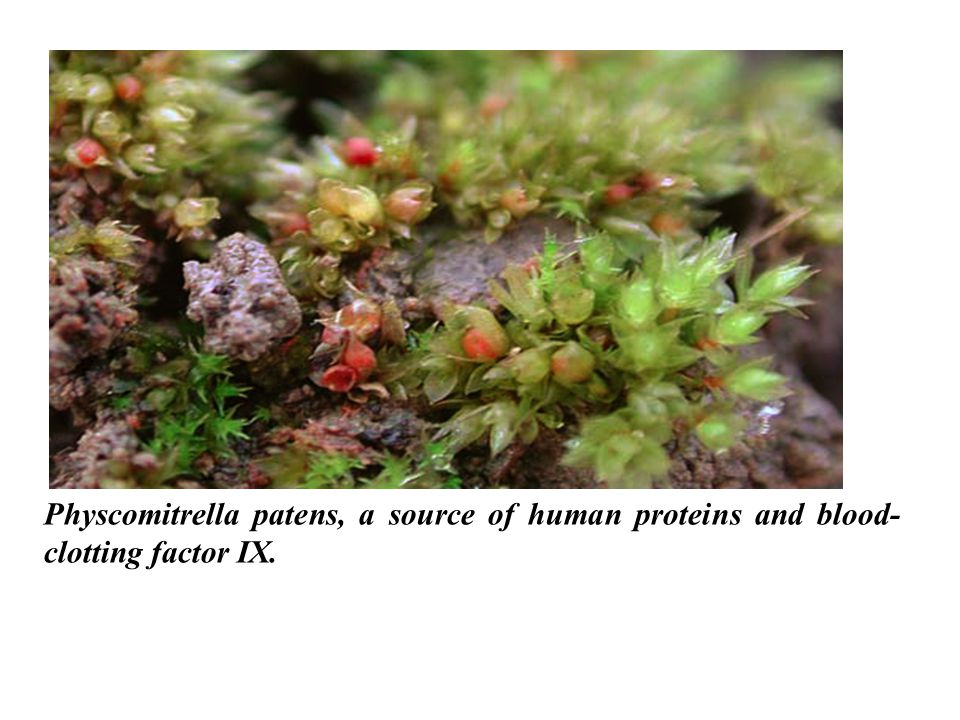 Physcomitrella patens, a source of human proteins and blood-clotting factor IX.