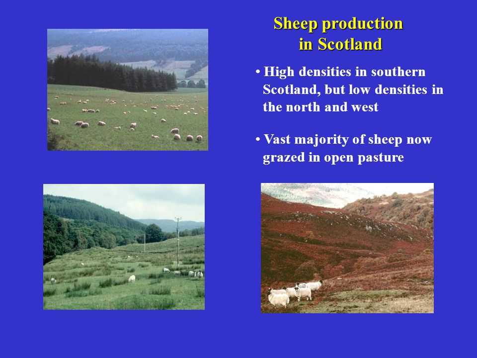 Sheep production in Scotland