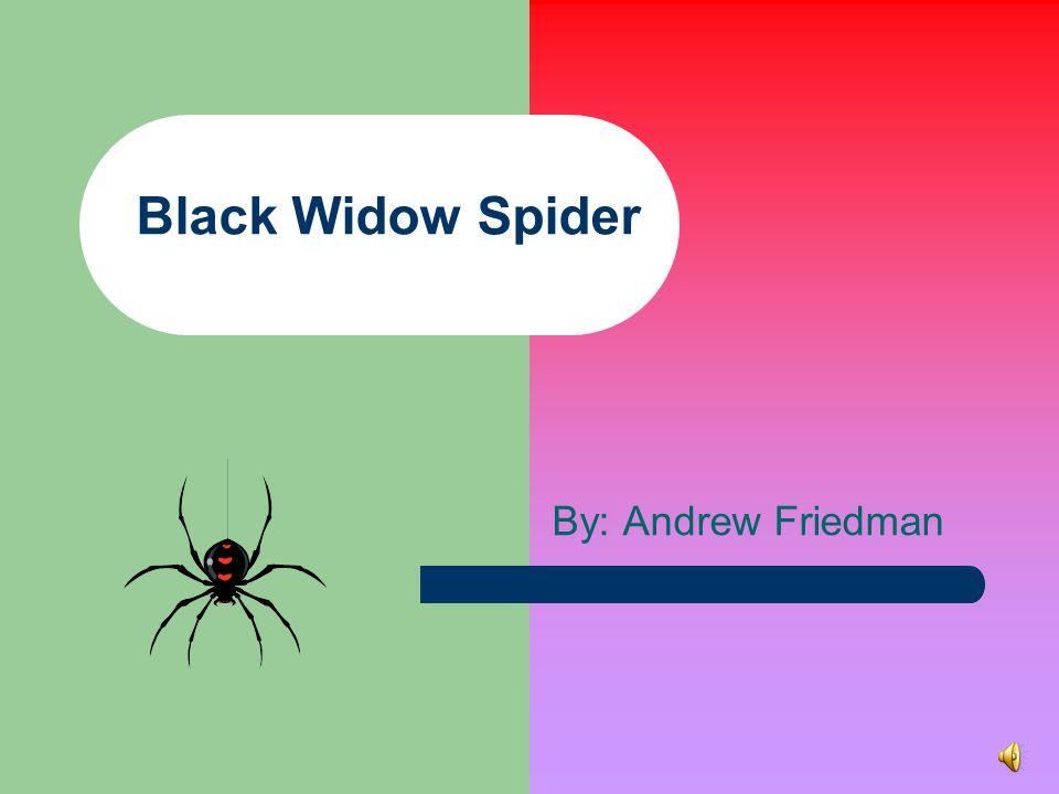 Black Widow Spider By: Andrew Friedman