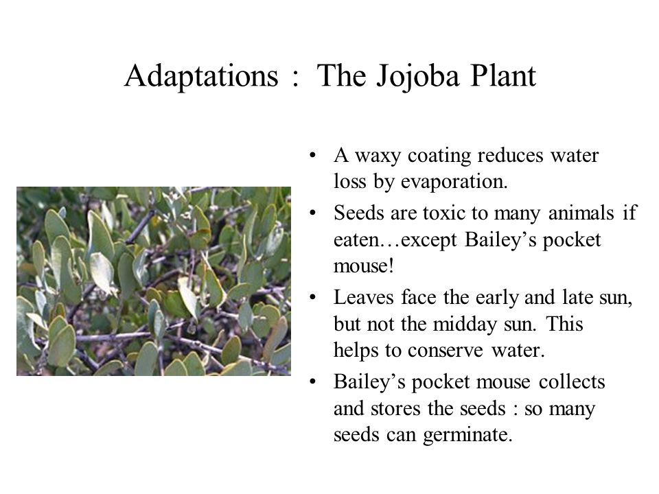Adaptations : The Jojoba Plant
