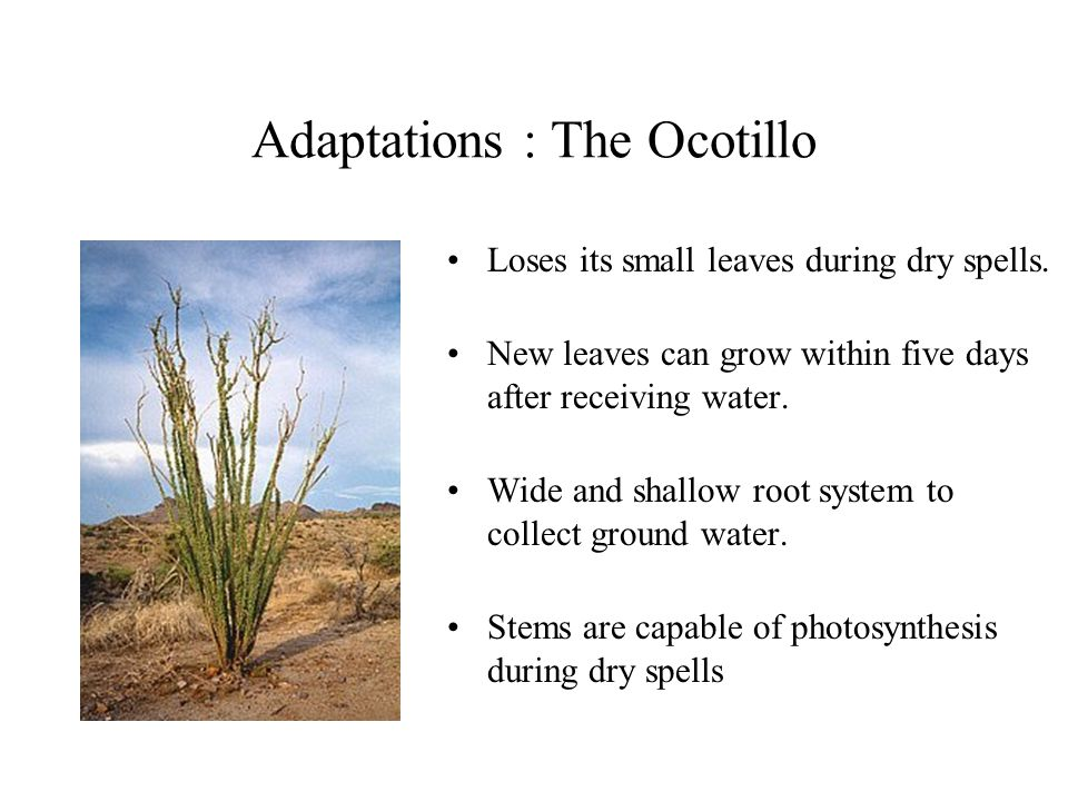 Adaptations : The Ocotillo