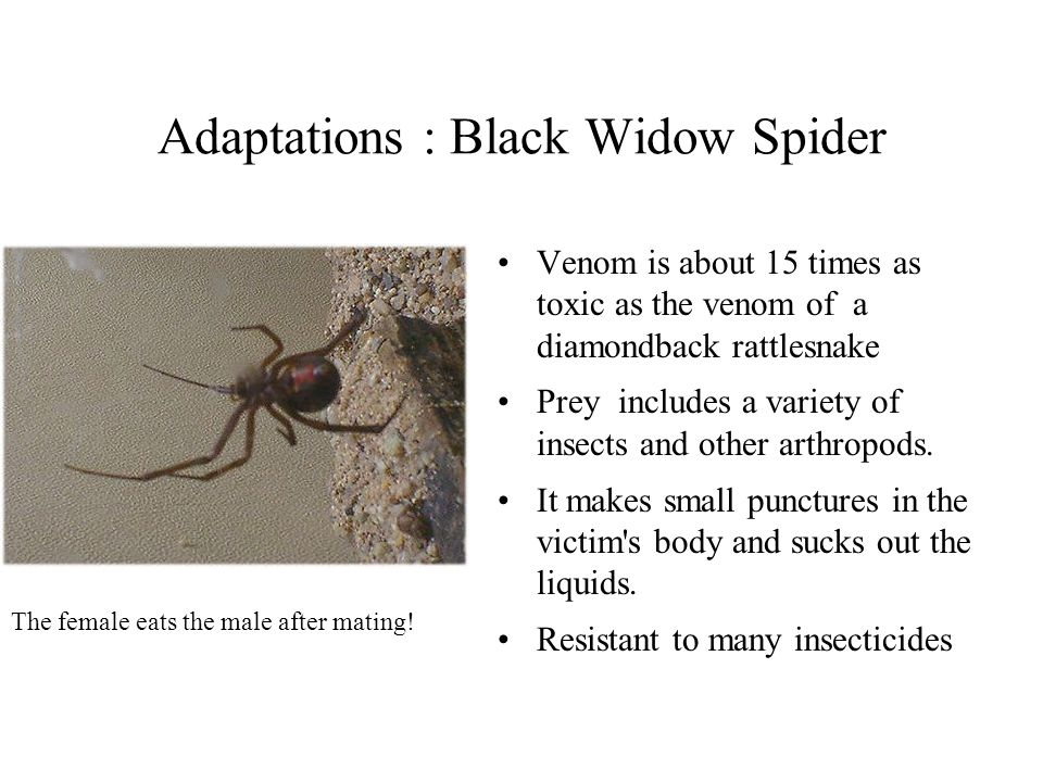Adaptations : Black Widow Spider