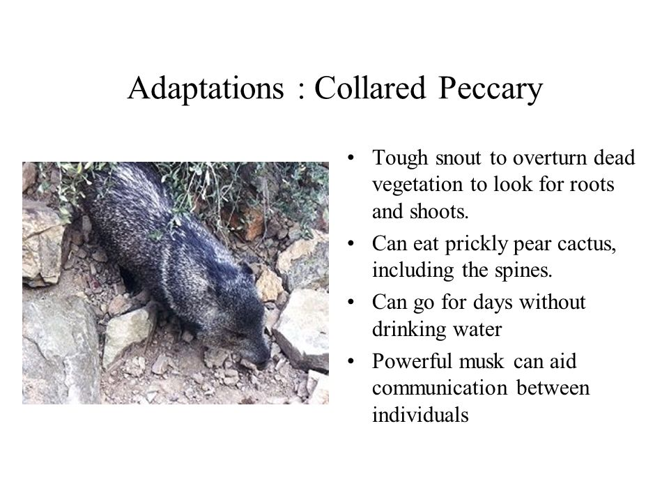 Adaptations : Collared Peccary