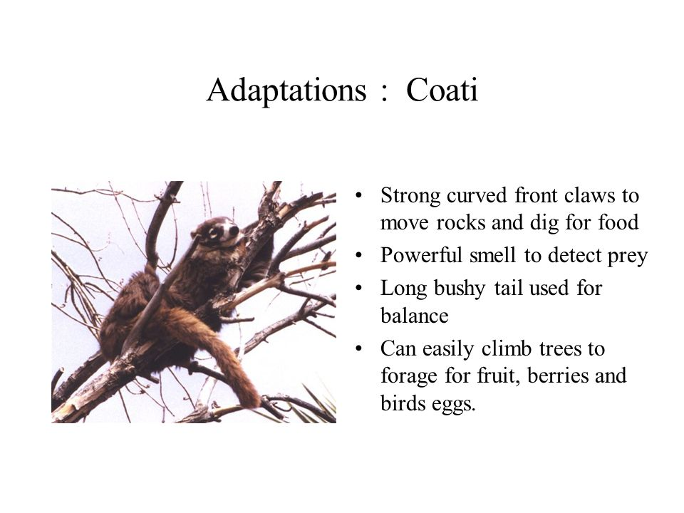 Adaptations : Coati Strong curved front claws to move rocks and dig for food. Powerful smell to detect prey.