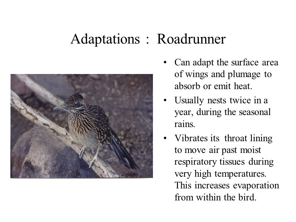 Adaptations : Roadrunner