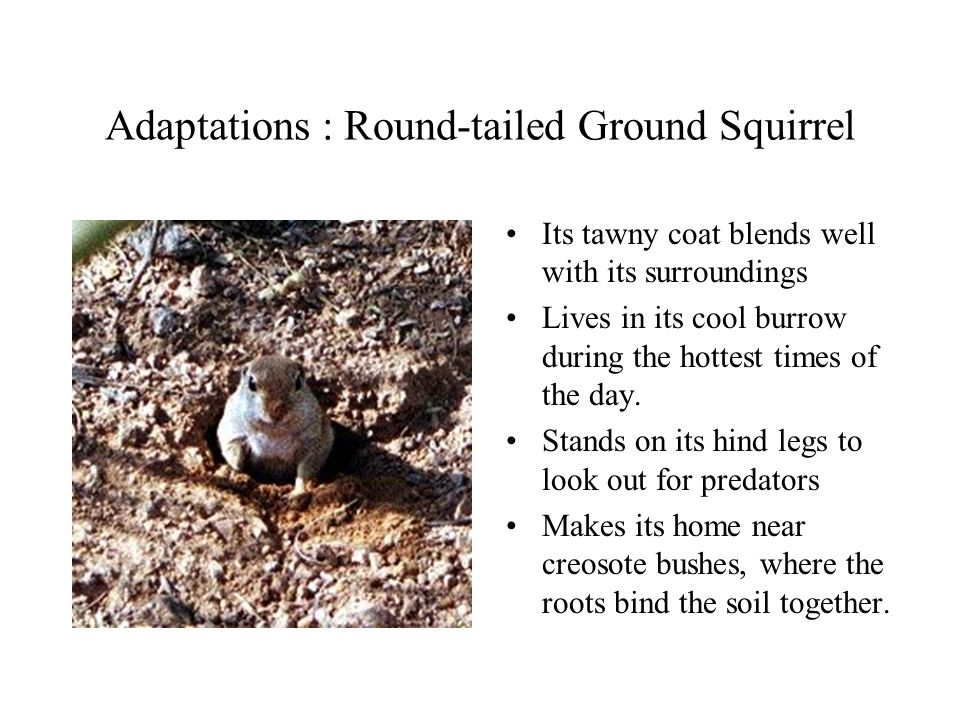 Adaptations : Round-tailed Ground Squirrel