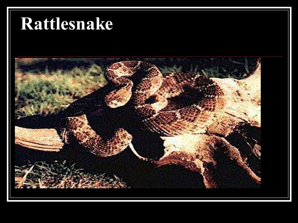 Rattlesnake Rattlesnake