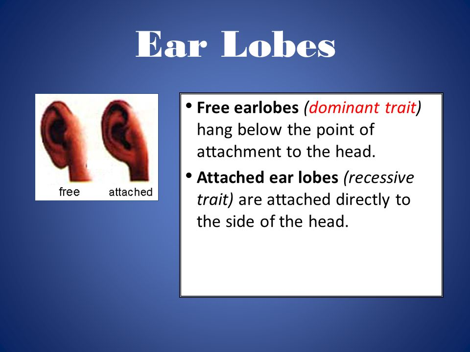 Ear Lobes Free earlobes (dominant trait) hang below the point of attachment to the head.