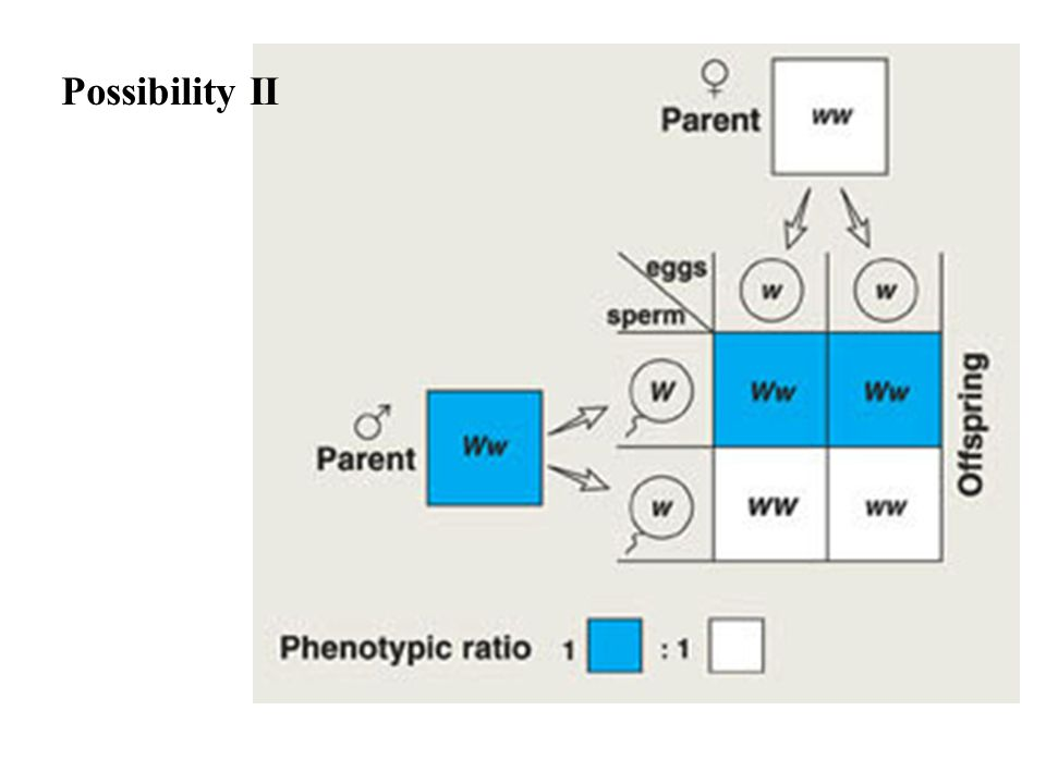 Possibility II Because the offspring show a 1:1 phenotypic ratio, the individual is heterozygous as shown.