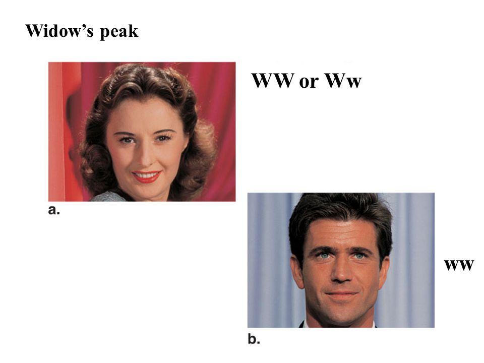 Widow's peak WW or Ww In humans, widow's peak (top) is dominant over straight hairline (bottom). ww