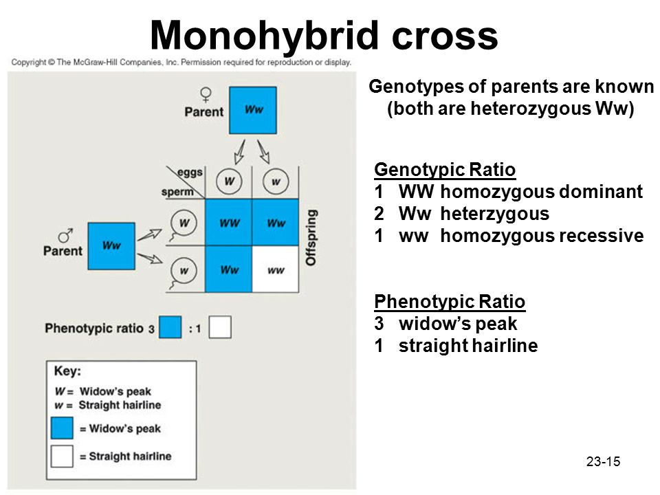 Genotypes of parents are known (both are heterozygous Ww)