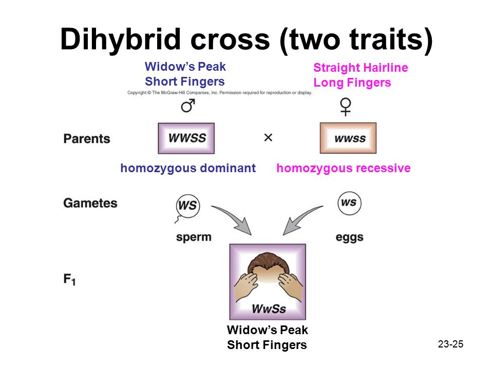 Dihybrid cross (two traits)