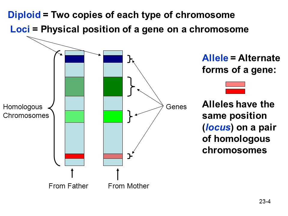 Diploid = Two copies of each type of chromosome