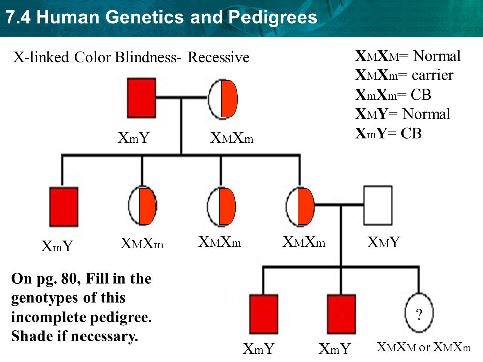 X-linked Color Blindness- Recessive XMXM= Normal XMXm= carrier