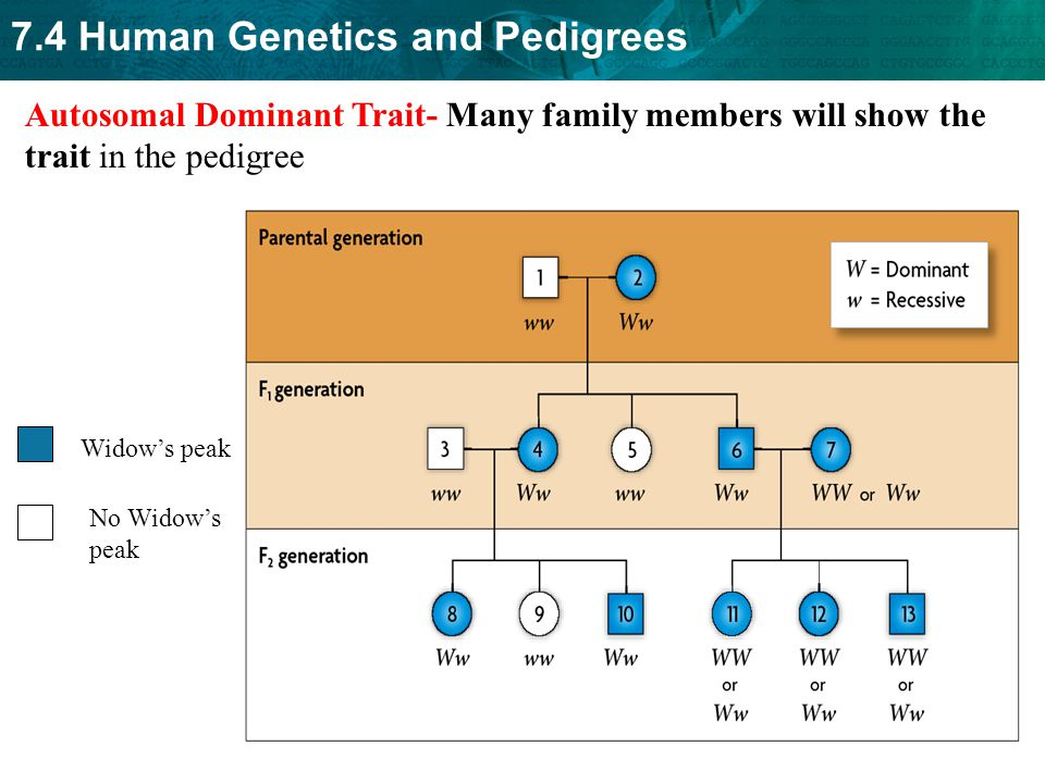 Autosomal Dominant Trait- Many family members will show the trait in the pedigree