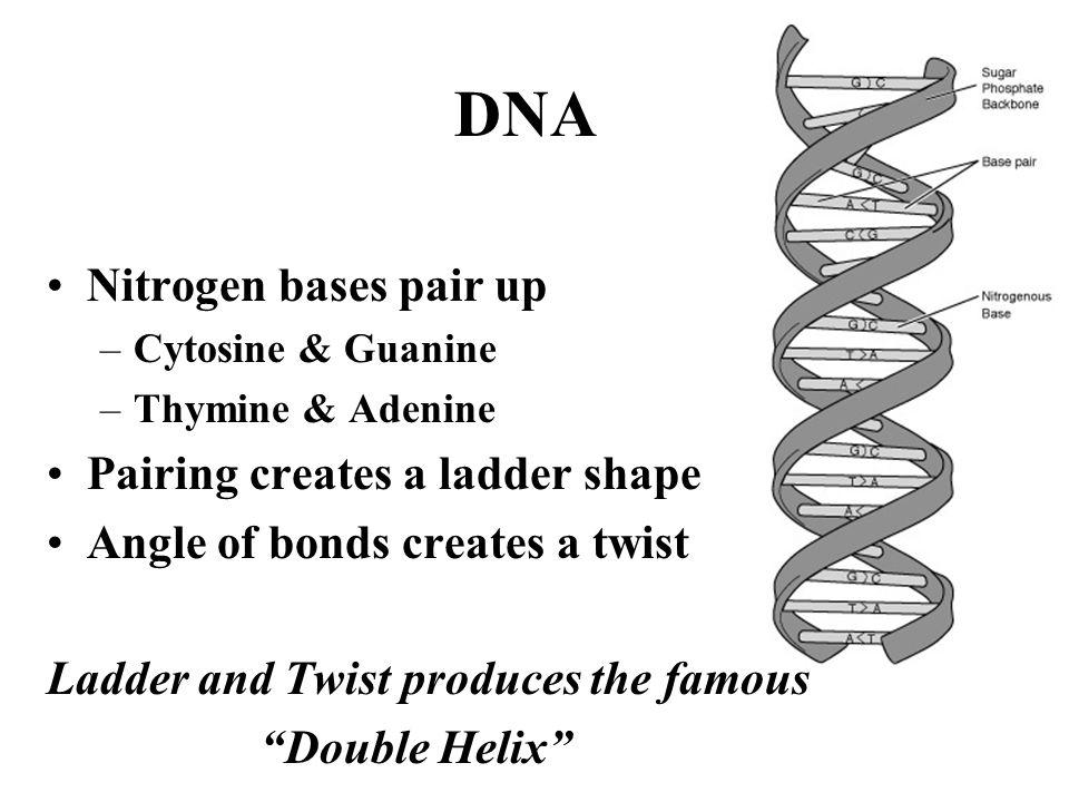 DNA Nitrogen bases pair up Pairing creates a ladder shape