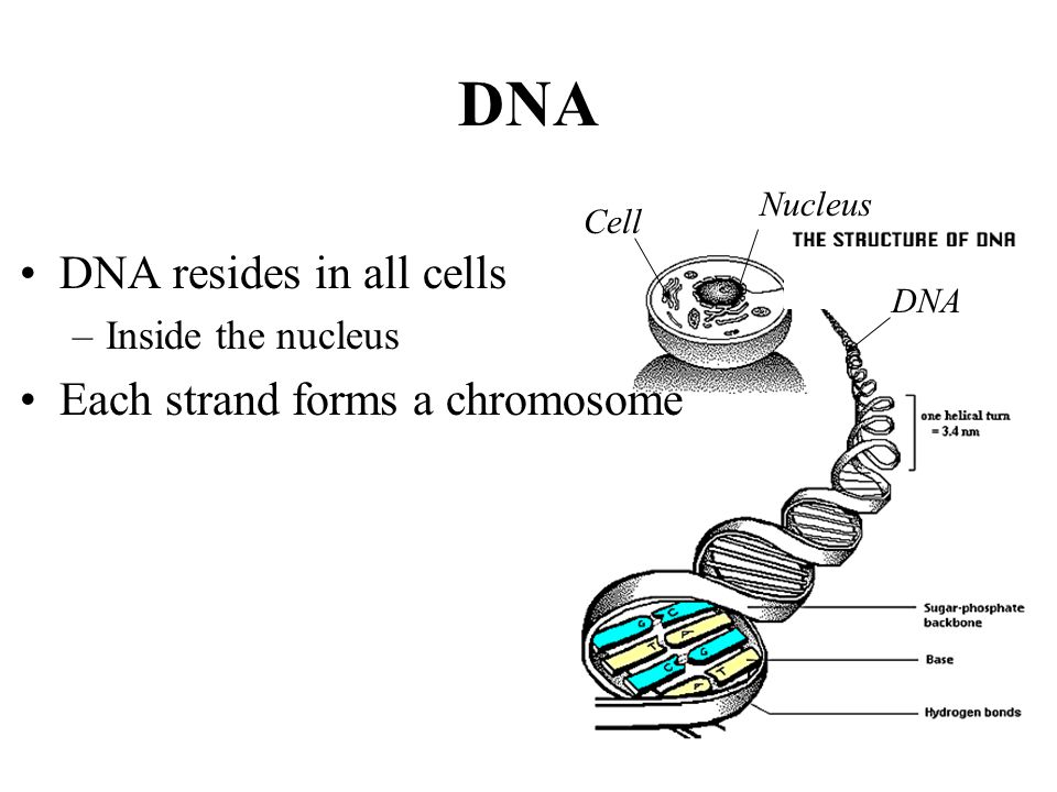 DNA DNA resides in all cells Each strand forms a chromosome