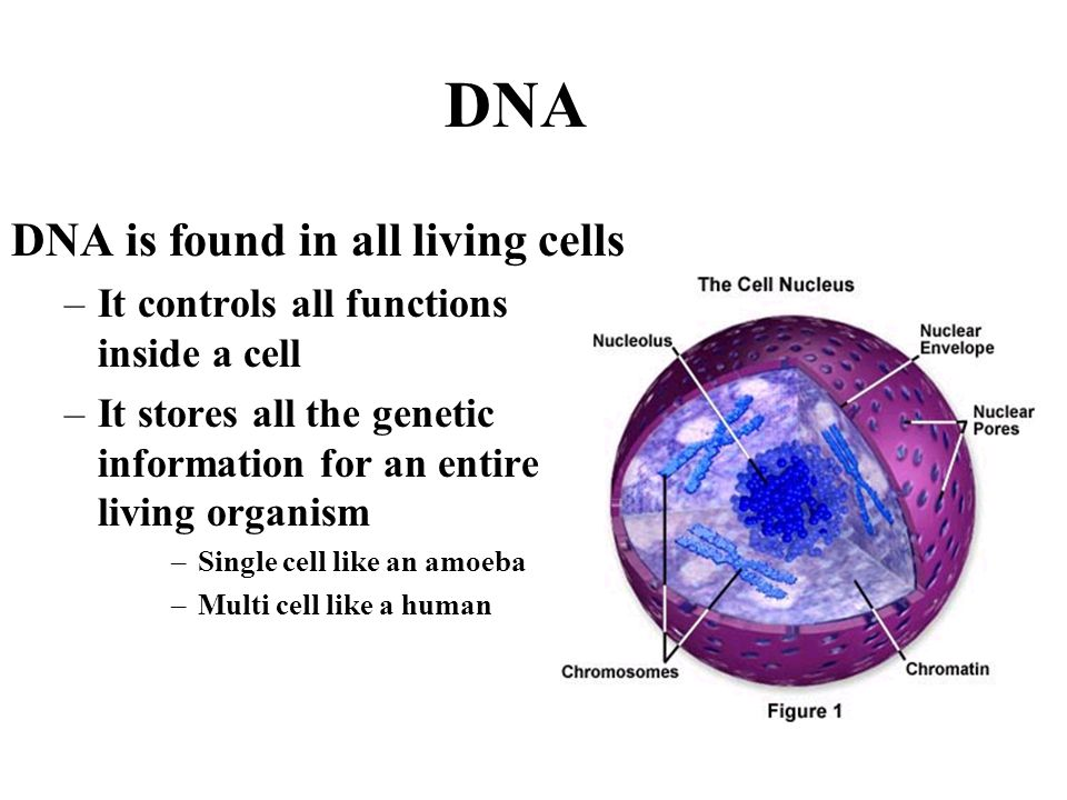 DNA DNA is found in all living cells