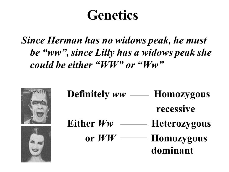 Genetics Since Herman has no widows peak, he must be ww , since Lilly has a widows peak she could be either WW or Ww