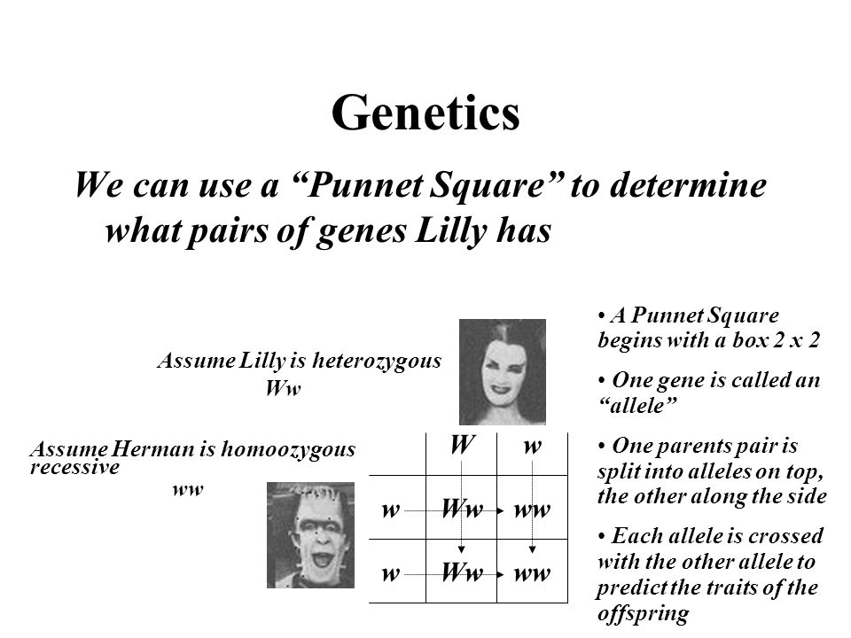 Genetics We can use a Punnet Square to determine what pairs of genes Lilly has. A Punnet Square begins with a box 2 x 2.