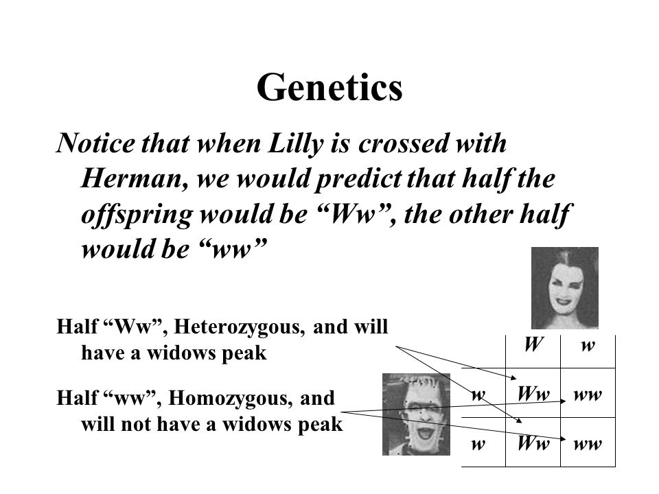 Genetics Notice that when Lilly is crossed with Herman, we would predict that half the offspring would be Ww , the other half would be ww