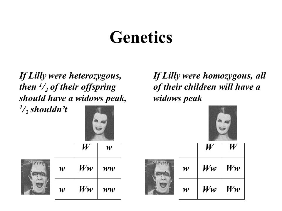 Genetics If Lilly were heterozygous, then 1/2 of their offspring should have a widows peak, 1/2 shouldn't.
