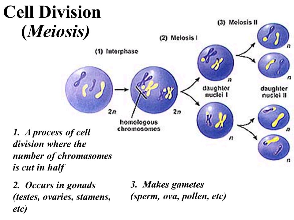 Cell Division (Meiosis)