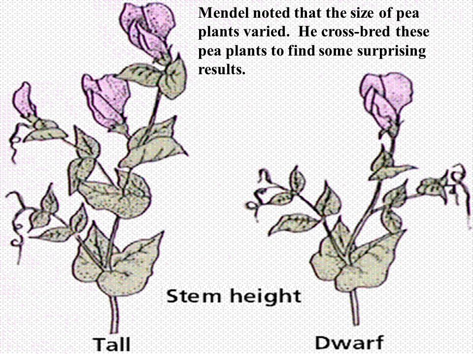 Mendel noted that the size of pea plants varied