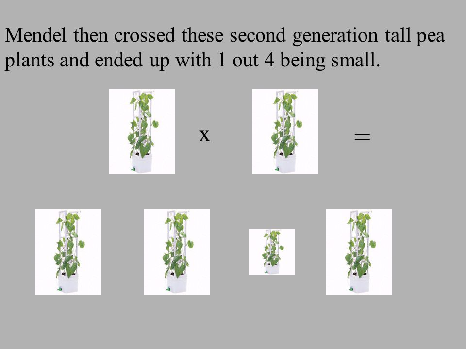 Mendel then crossed these second generation tall pea plants and ended up with 1 out 4 being small.