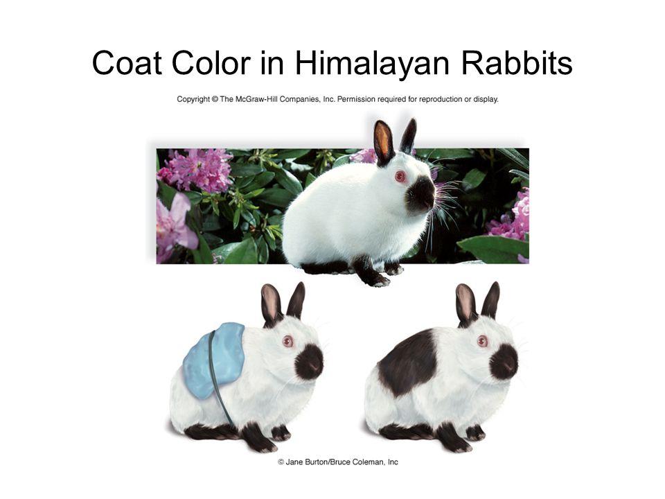 Coat Color in Himalayan Rabbits