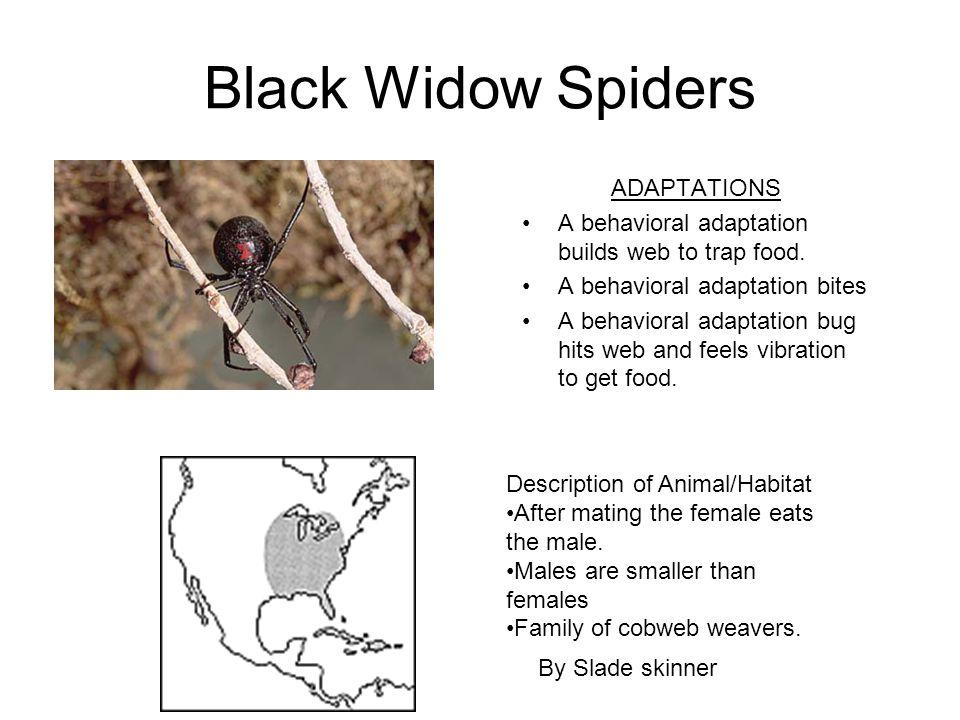 Black Widow Spiders ADAPTATIONS