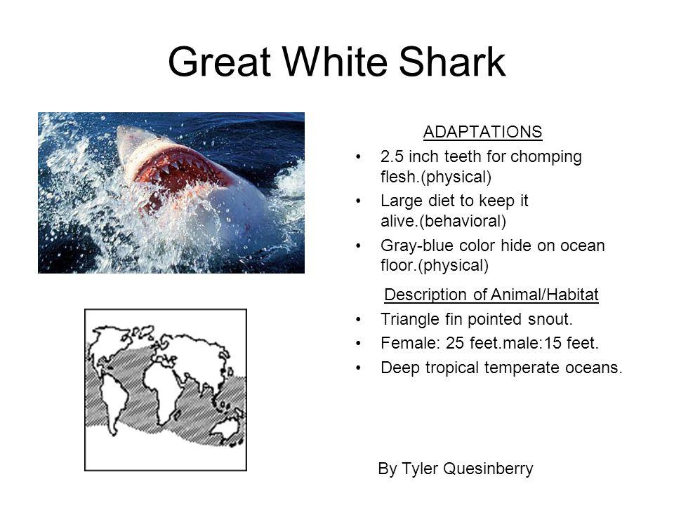 evolution of the great white shark. Black Bedroom Furniture Sets. Home Design Ideas