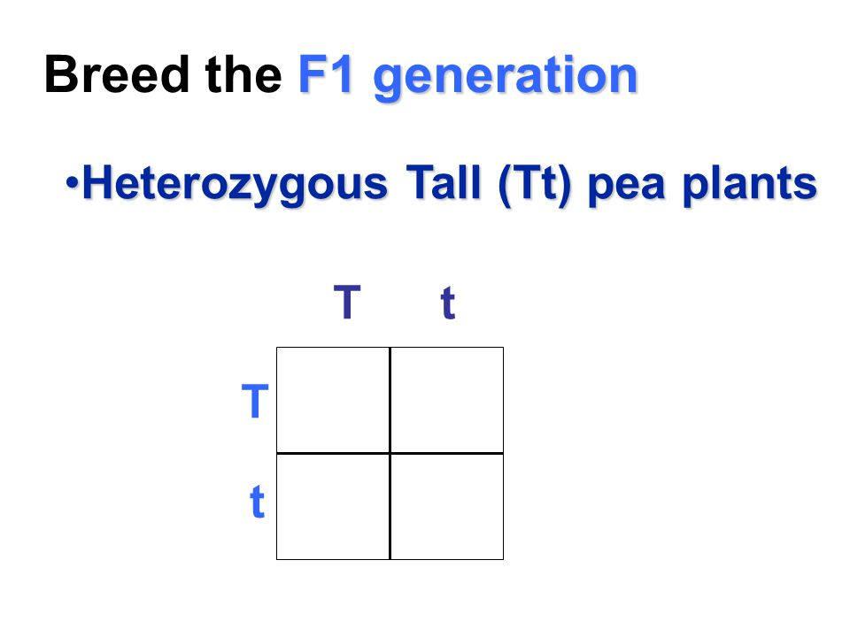 Breed the F1 generation Heterozygous Tall (Tt) pea plants T t T t